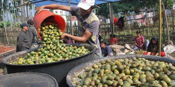 Ekspor Buah Pinang atau Areca Nut